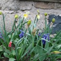 2008 03 30 Mes Narcisses, Jacinthes et tulipes