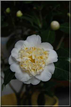 camelia 011b