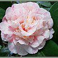 Camélia rose pâle veiné de rose