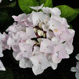 macrophylla white spirit mini