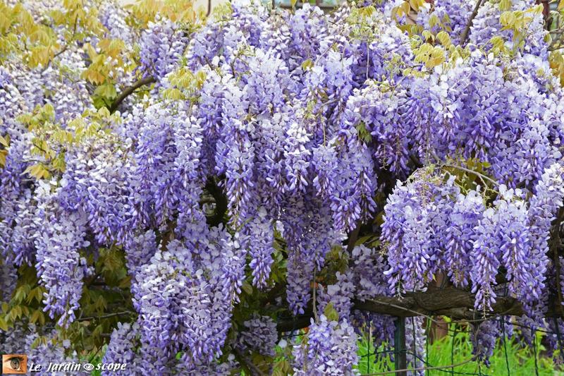 Glycine en pleine floraison