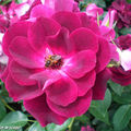 Rosa 'Burgundy Ice' • Rose Ancienne André Eve