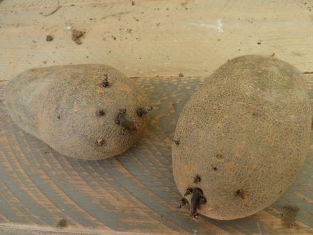 4-pomme de terre mira (2)