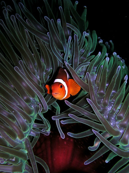 450px-Amphiprion_ocellaris_(Clown_anemonefish)_in_Heteractis_magnifica_(Sea_anemone)