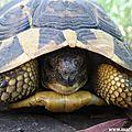 Une sympatique rencontre: la tortue d'hermann