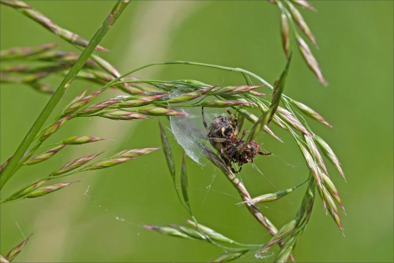 Galuchet araign epeire nid graminées 2 080517 2