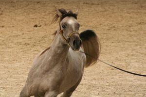 Championnat du monde du cheval arabe le 11 12 10 (4)