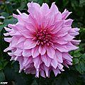 Dahlia rose (Vu à Chaumont-sur-Loire automne 2916)