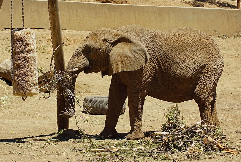 ELEPHANT AFRICAIN AU ZOO D'OAKLAND