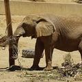 Au zoo de melbourne, les éléphants d'asie marchent autant que leurs congénères sauvages !