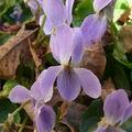 2009 03 15 Une violette