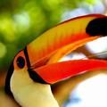 toucan ramphastos toco
