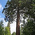 9N3A5139 le plus gros des séquoias