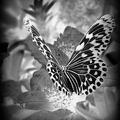 La trace du papillon....extrait