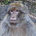 5 - les singes d'azrou - arrivee a l'auberge jaafar