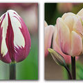 4 Tulipes