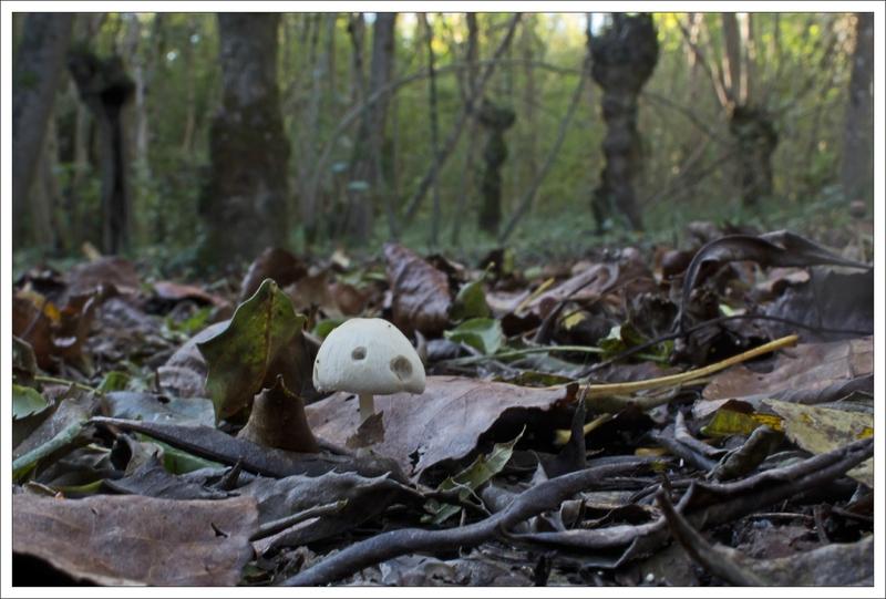 Galuchet champignon arbres tetards 271014 3