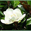 Magnolia 2906154