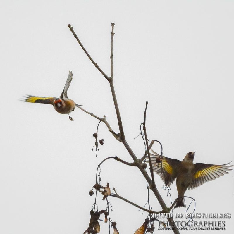 Chardonneret élégant (Carduelis carduelis - European Goldfi)