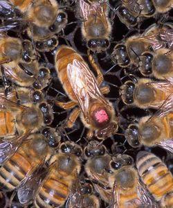 abeille_apis_mellifera_reine_cour_ouvrieres