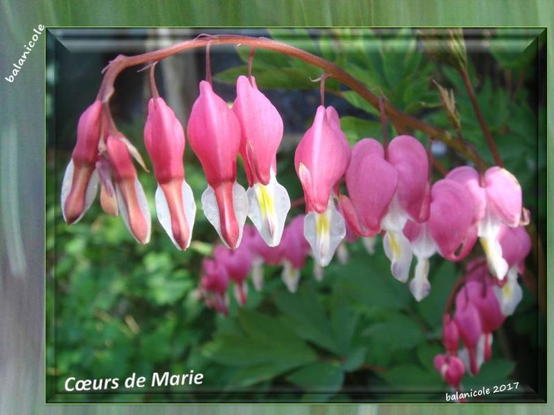 balanicole_2017_06_le printemps des vivaces 02_34_coeurs marie rose