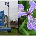 114 - l'iris versicolore