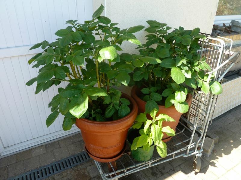 17-pomme de terre mira (2)
