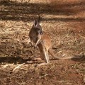 Bébé kangourou - Alice Springs