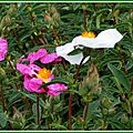 Cistes blancs et roses 290415