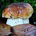 Jeune cèpe de Bordeaux dans les buissons de myrtilles