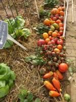 21-tomates du jour (3)