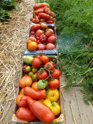 26-tomates du jour (1)