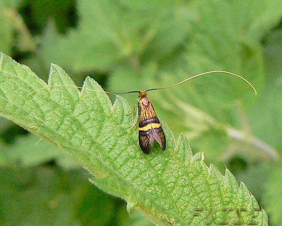 Adelidae_sp_00