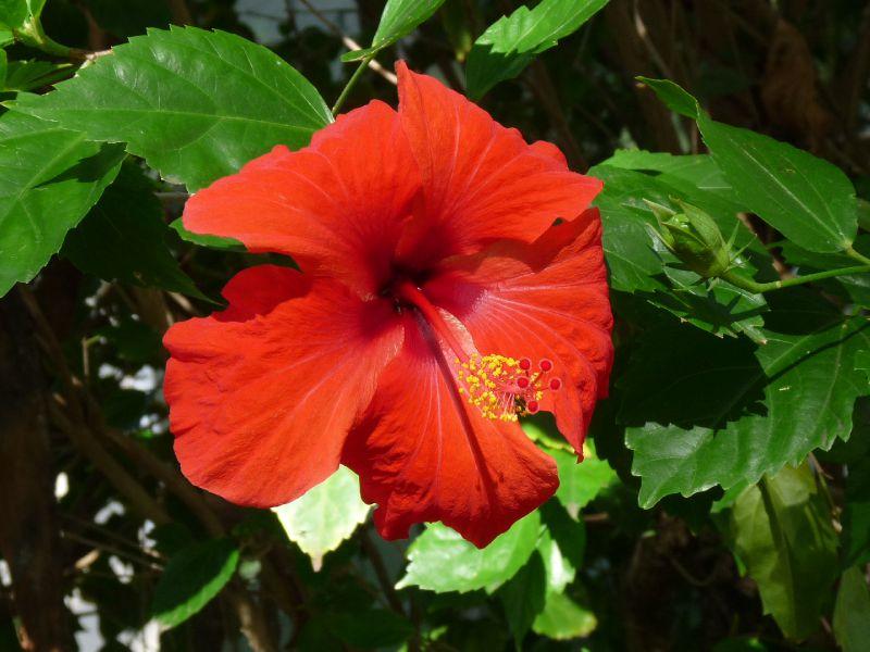 hibiscus dans le jardin de l'église de Port Mathurin