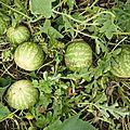 25 octobre - des pastèques oui...mais à confiturer