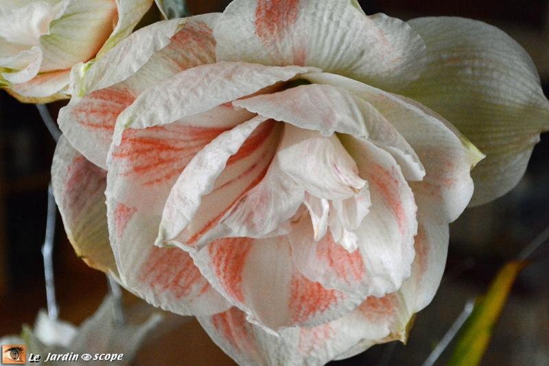 Amaryllis à Fleurs Doubles Dancing Queen