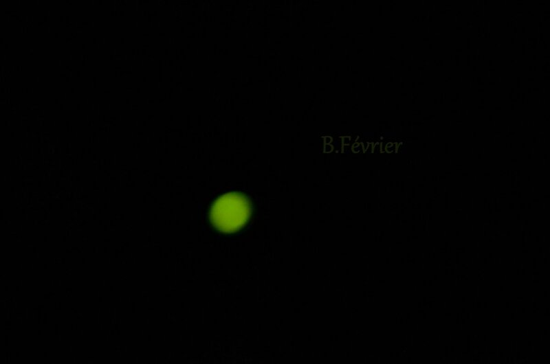 Lampyre ou vert luisant (Lampyris noctiluca)
