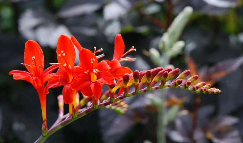 Crocosmia 'Lucifer' 2