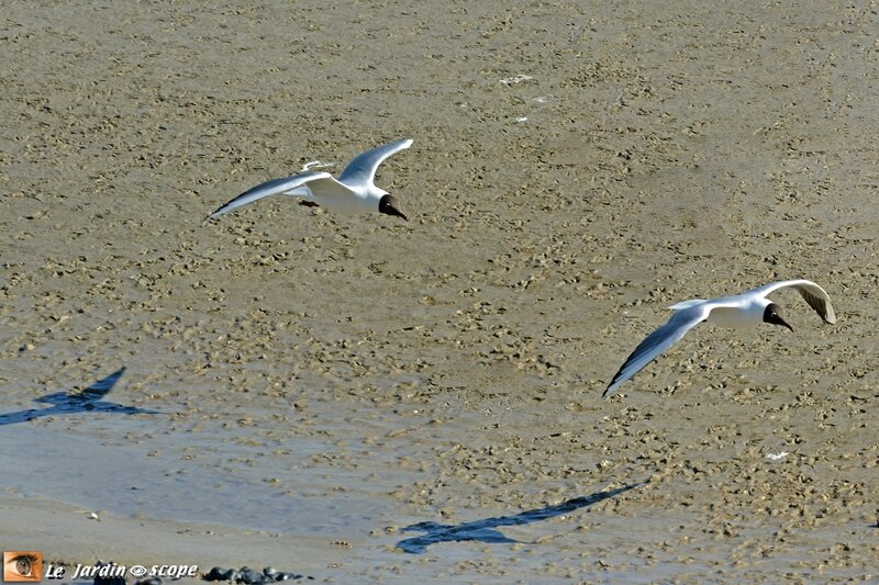 4665--Mouettes