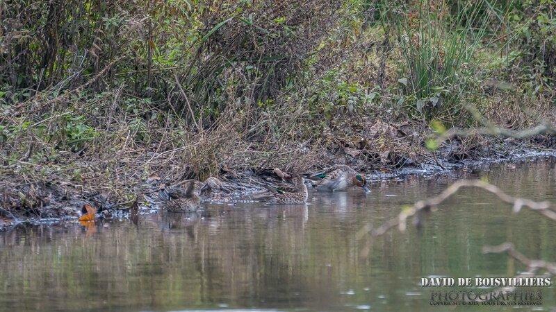 Sarcelle d'hiver (Anas crecca)