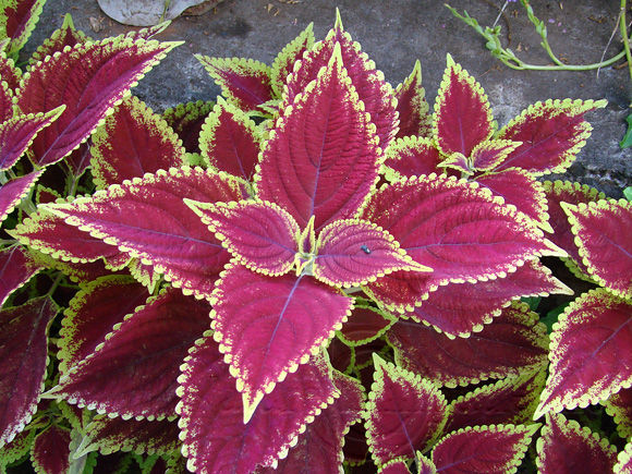 solenostemon scutellarioides coleus martinique. Black Bedroom Furniture Sets. Home Design Ideas