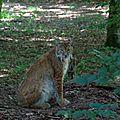 Lynx boréal - Lynx Lynx (1)