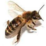 baume-du-tigre-et-piqure-d-abeille-150x150