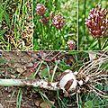 Poireau des vignes (amaryllidacées)
