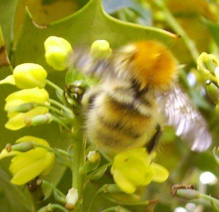 abeille sur fleur de Mahonia - 3151