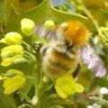 Fleurs de mahonia et abeilles