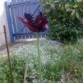 Tulipe noire : une rareté!