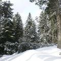 2009 03 05 Le forêt au pied du suc de Mounier sous la neige
