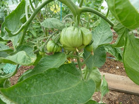 10-tomates serre (4)