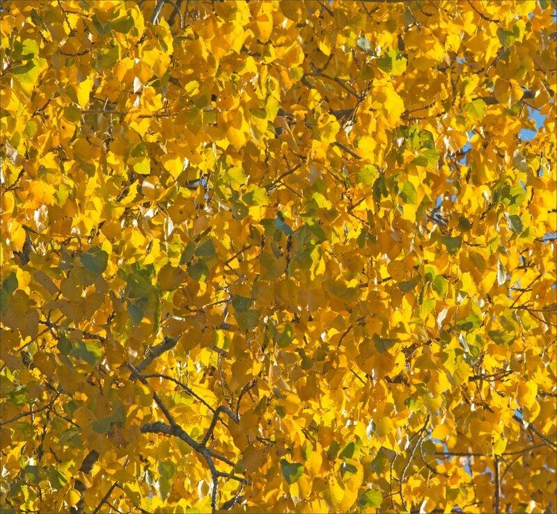 Peupliers couleurs automne 141116